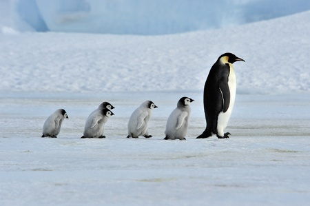 Why you should walk like a penguin when it's rainy, icy or snowy